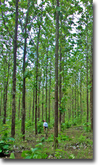 Panama Teak And Forestry Inc Green Investments