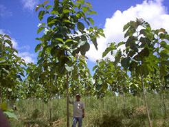 Llano Grande 2 Teak Plantation