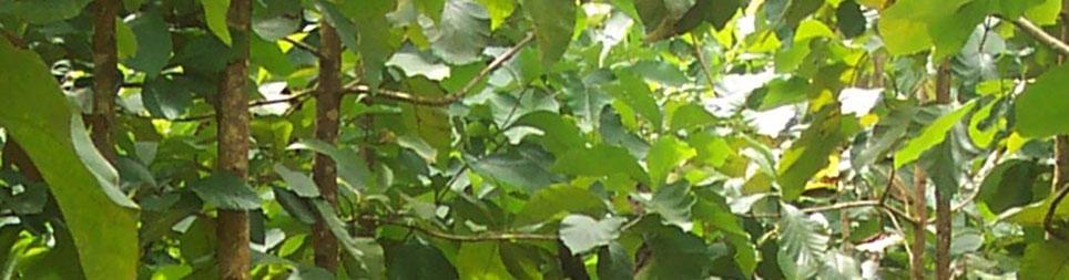 Panama Teak Forestry