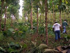 Sona 1 Teak Plantation